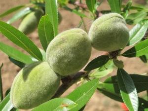 the almond field4 8-5-14