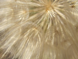#1 dandelion, huge - close-up 30-5-14