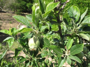 baby apples1 17-5-14