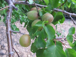 baby apricots1 22-5-14