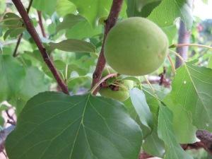 baby peaches2 22-5-14