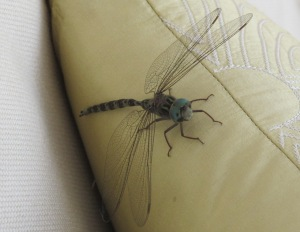 dragonfly1 12-7-11