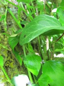 ivy6 8-5-14