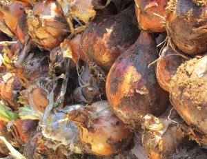 onions, dirty 2 10-11-11