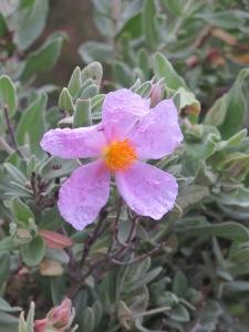 pink rock rose 26-3-13