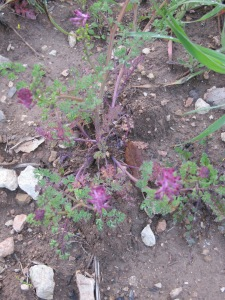pink wildflowers1 26-3-13
