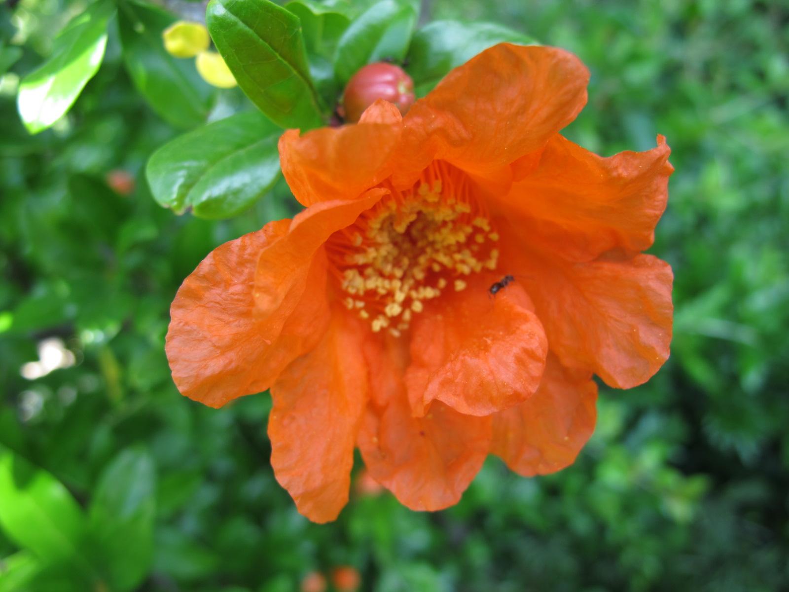 The pomegranate flowers burst open