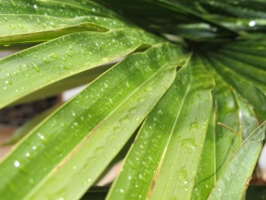 raindrops on palm leaf 1-6-14