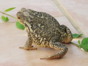 toad1 8-4-15