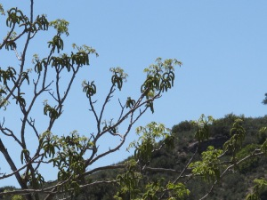 walnut - spring catkins1 16-4-13