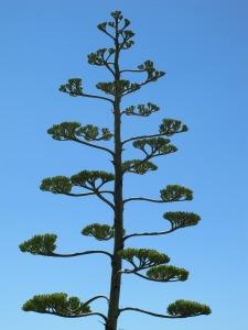 agave americana1 1-7-14