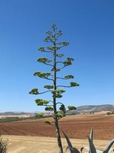 agave americana3 1-7-14