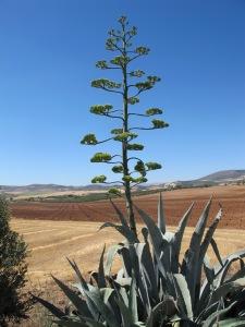 agave americana4 1-7-14