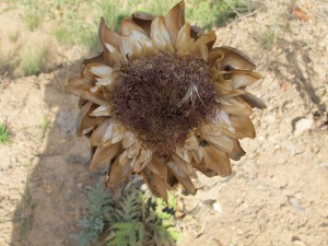 artichoke - dried flower 5-8-13 (2)
