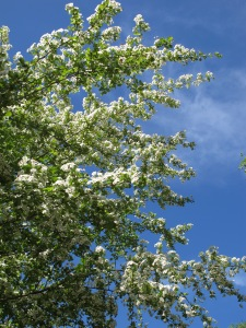 C is for - cream hawthorn blossom 25-4-13 (2)