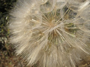 D is for - dandelion, huge2 30-5-14