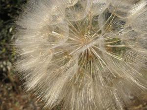 D is for - dandelion, huge2 30-5-14