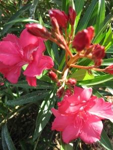 elfa - pink close-up 27-8-13 (2)