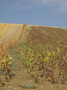 field of drying sunflowers 22-8-13 (2)