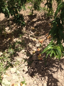 fruit on the ground1 22-7-14