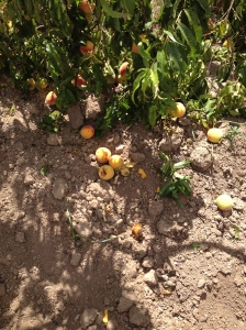 fruit on the ground2 22-7-14