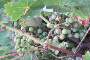 G is for - grapes in july 24-7-11 (2)