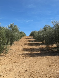line of olive trees - up our track 12-10-13 (2)