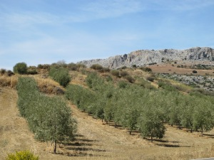 line of olive trees1 12-10-13 (2)