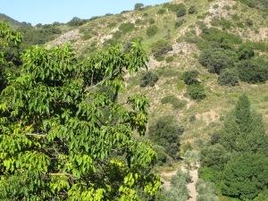 morning sun through the big walnut 7-8-13 (2)