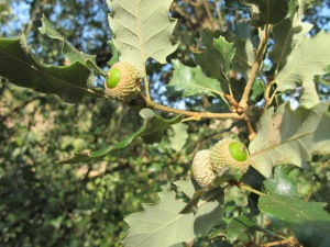 O is for - holm oak with acorns in August 17-8-13 (2)