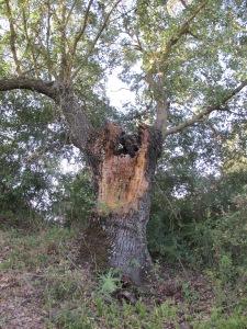 oak - old and split 25-8-13 (2)