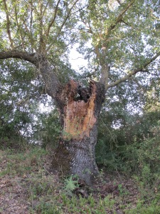 oak - old and split 25-8-13 (2)