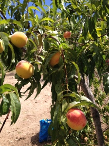 peaches on the tree1 22-7-14