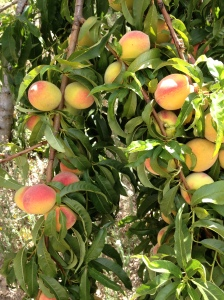 peaches on the tree2 22-7-14