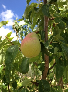 pear on the tree 22-7-14