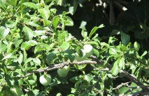 plums in july 6-7-11 (2)