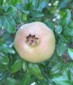 pomegranate 24-7-11 (2)