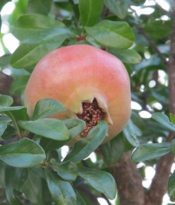 pomegranate in july - pink 24-7-11 (2)