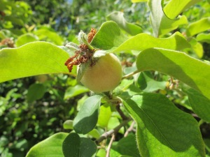 Q is for - baby quince 8-5-14