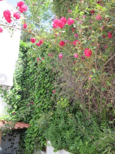 roses and ivy 8-5-14