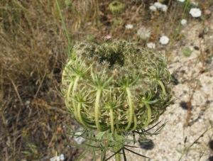 white lace seedhead1 1-7-14