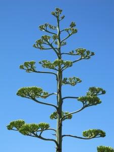 #16 agave americana2 1-7-14