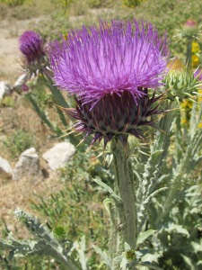 #17 purple thistle flower 1-7-14