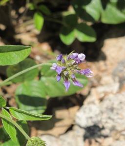 #21 Sage blue flower 28-4-11