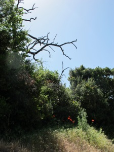 #22 blue sky, dead tree, a splash of red poppies - on the Almond Track 8-5-14