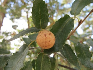 #24 oak gall 4-10-13