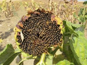 #26 black gold of drying sunflower 22-8-13