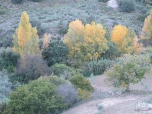 #27 golden poplars 21-11-10