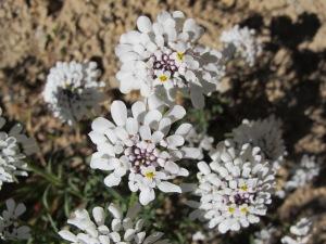 #4 white wildflowers 30-5-14