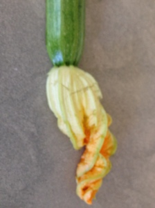 courgette with flower 3-8-14